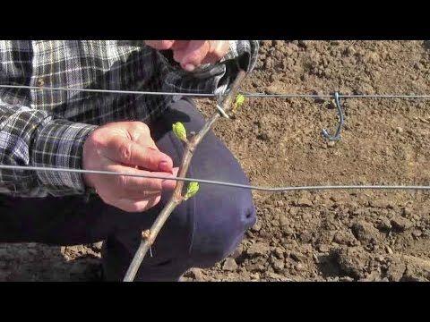 Уход за виноградом, формировка куста винограда весной - YouTube