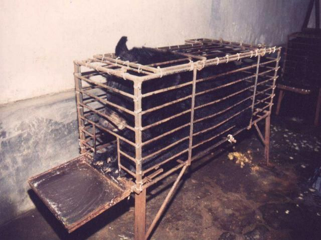 Bears held for bile extraction in China are forced to endure the most horrific conditions. They are confined 24 hours a day in tiny 'crush' cages, where they suffer from open wounds that allow for the bile extraction. These bears experience constant suffering and pain. Urge China to make the barbaric harvesting of bear bile illegal and stop the unnecessary suffering of countless bears.