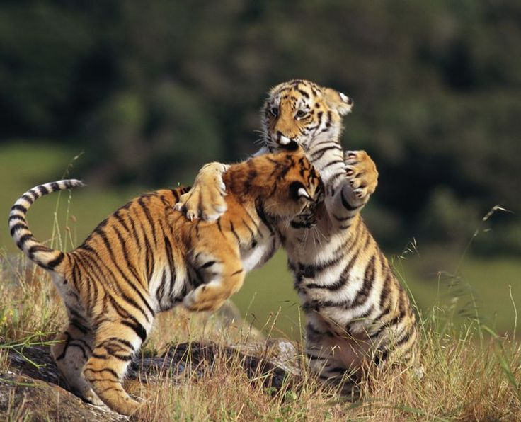 Gif Tiger Images Tigers Need Room To Stretch Their Paws