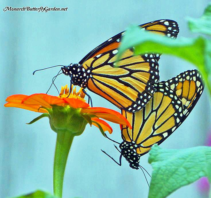 Mexican Sunflowers get Monarchs in the Mood for More Garden Visits- a Top 5 Butterfly Garden Plant.