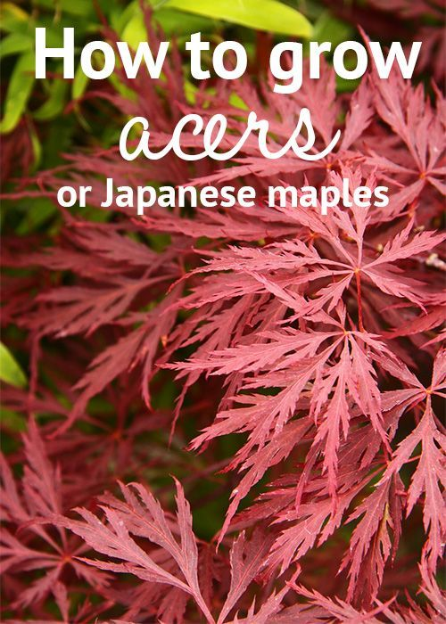 How to grow acers or Japanese maple trees - these stunning trees have intricate foliage and rich red colours