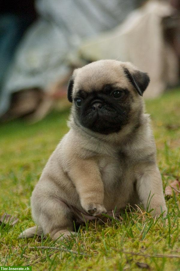 Of all the fine things in life .. far things are finer than a pug puppy. :) (I know this for a fact!)