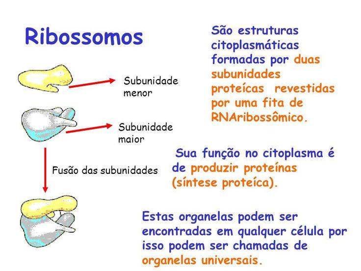 Função dos Ribossomos