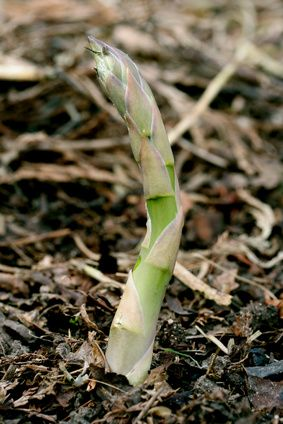 How to Plant Asparagus Roots in Michigan