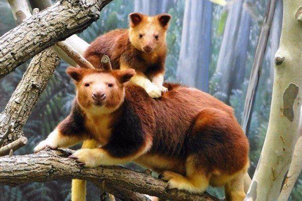 древесный кенгуру Валлаби Случайные факты (@sfactum) | Твиттер
