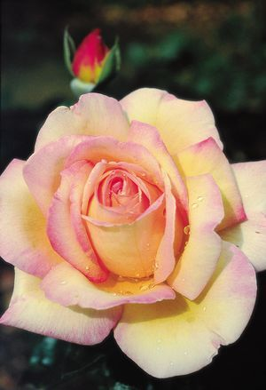 Peace Rose - slight fragrance- This was my Mom's favorite rose.