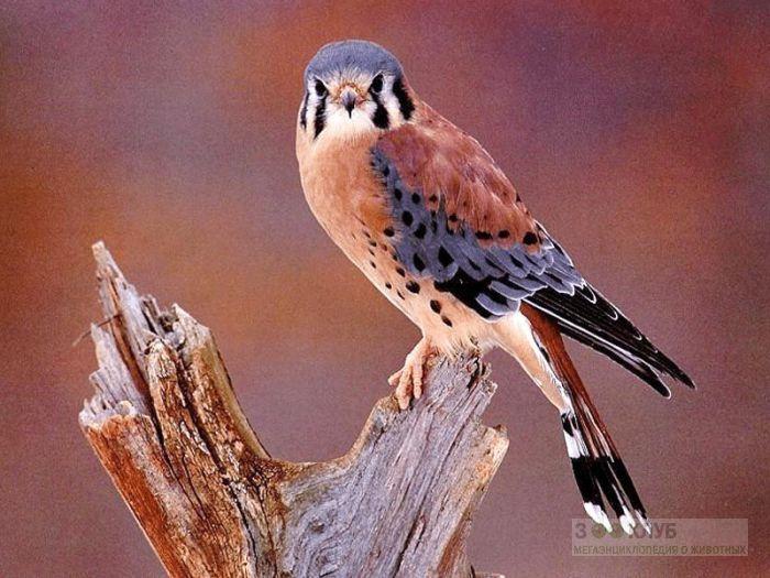 Воробьиная пустельга (Falco sparverius), фото фотография картинка обои