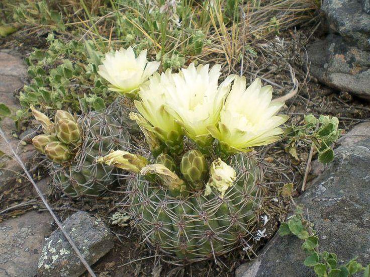 schatzlianum (G. reductum ssp leeanum)