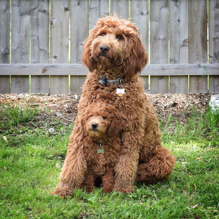 Standard and Mini goldendoodle. Follow then on Instagram - @dublyndoodle