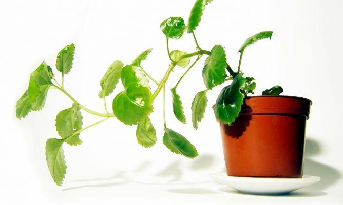 Planta del dinero o plectranthus