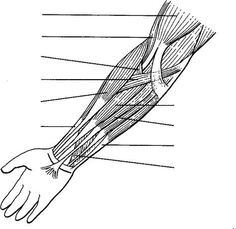 Muscles Of The Arms Are Shown Without Labels For Practice Naming And Identifying