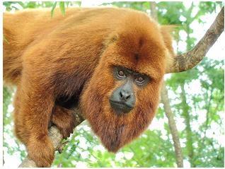 bugio: Fauna Brasileira, Beleza Animales, Algun Animais, Macaco Uivador, Amazing Animal, Extraordinary Animal, Animais Ems, Animals Color Pink