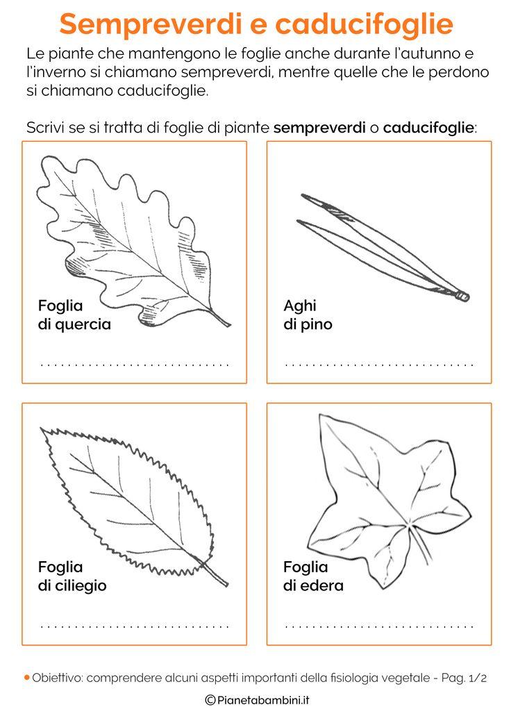 Schede didattiche sulla classificazione delle foglie da stampare (forme e margini delle foglie e piante sempreverdi e caducifoglie) per la scuola primaria
