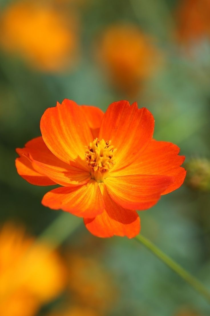 Sulphur Cosmos Bright Lights Seeds Cosmos Flowers Cosmos Plant Orange Flowers