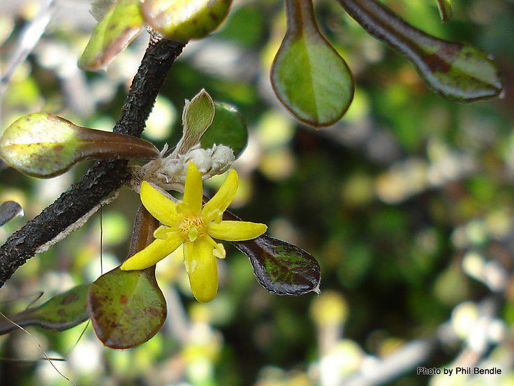 Corokia cotoneaster - Korokio