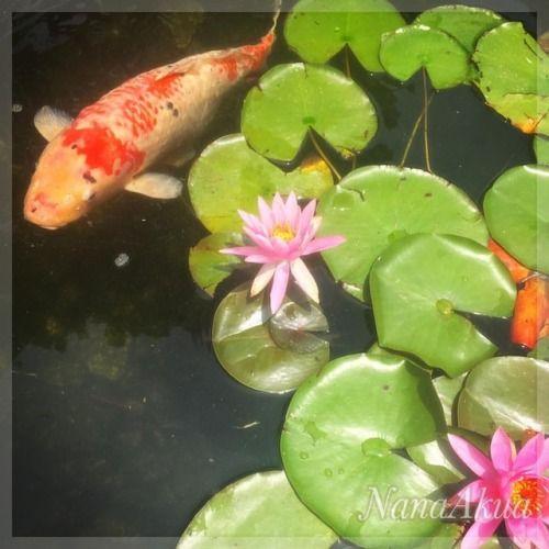 7月末に安曇野市で開催のナナアクヤのプラバンワークショップの予約もボチボチ入り始めております。  写真は #名古屋 の #徳川園 の #睡蓮 と #鯉  #lotus and #carp #tokugawagarden in...