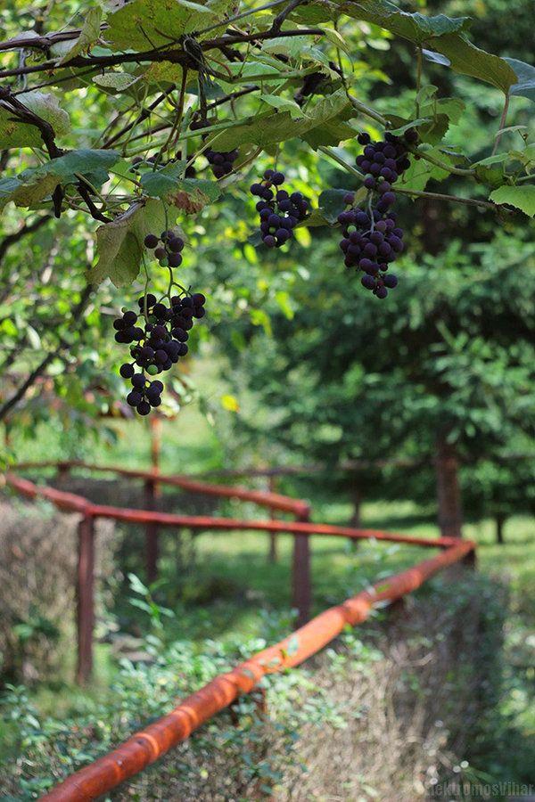 #magicgarden #grapes