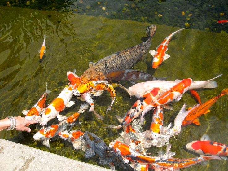 494 best images about koi fish goldfish on for Japanese koi water garden