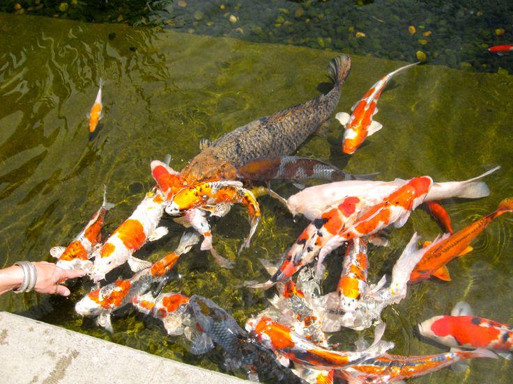 Koi fish pond art studio ideas pinterest for Koi fish pond art