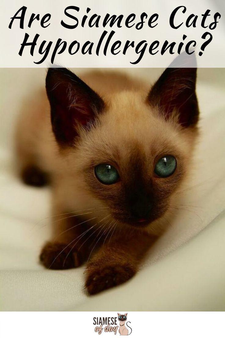 Are Siamese Cats Hypoallergenic Siameseofday In 2020 Siamese Cats Baby Cats Siamese