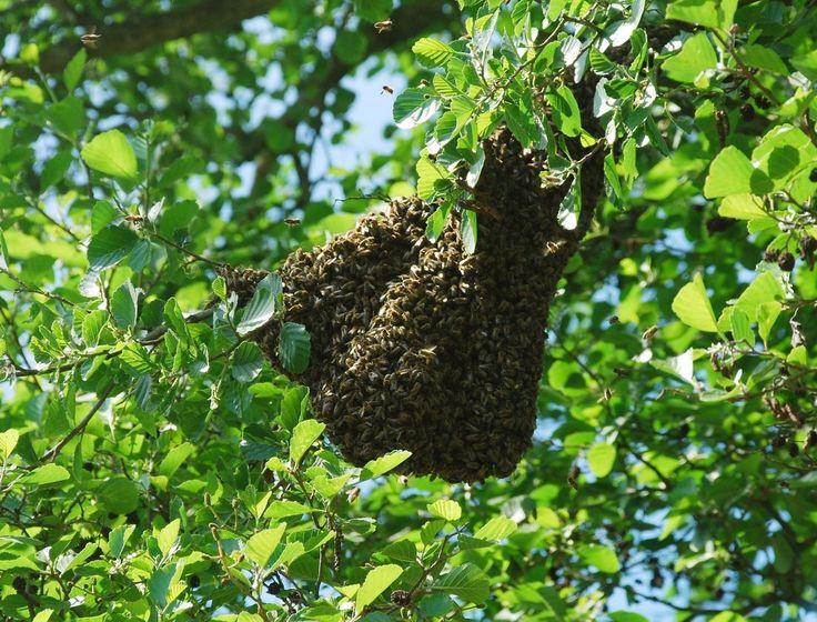 Bisværm i haven, ring til den lokale biavler