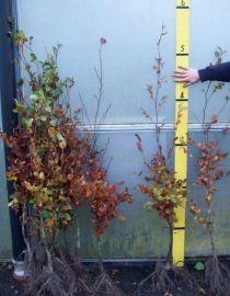 Bare-Root Beech Hedging 120-140cms high