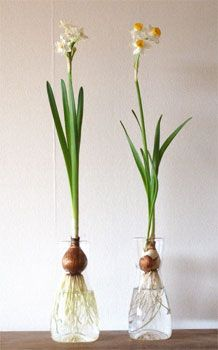 nichi : nichi  * narcissus hydroponic vases