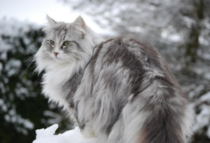 Descubre la raza de gato bosque de Noruega