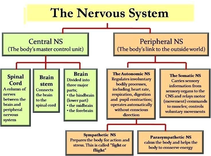 Image result for nervous system flow chart | Nervous system ...