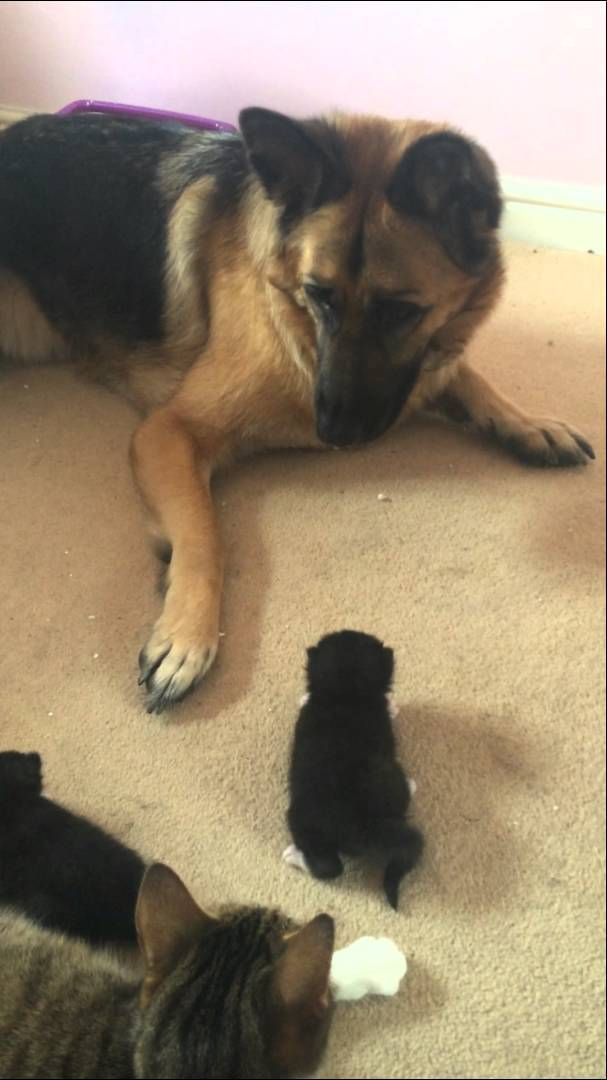 German Shepherd Owned By 2 Week Old Kitten Youtube