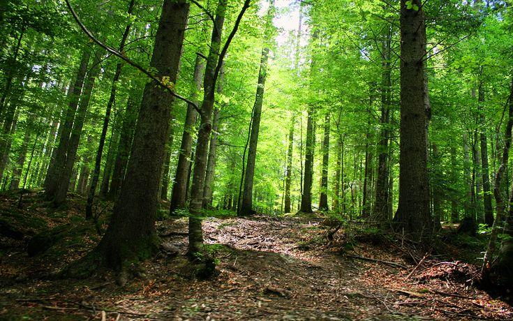 Slătioara Secular Woods