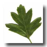 Celtic Tree Astrology: The Hawthorn