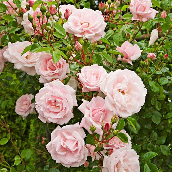 Pruning Roses Treat climbers and old garden roses that bloom only once per year the same as other spring-blooming shrubs: Pruning after they finish blooming. Repeat bloomers, including hybrid teas, floribundas, grandifloras, miniatures, and modern shrub roses are pruned mostly to shape the plant or to remove winter-damaged canes. If they become overgrown, cut them back in early spring.