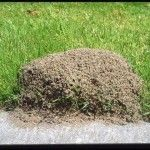 Easy, Non-Toxic Way To Rid Your Yard of Fire Ants - Canadian Basics