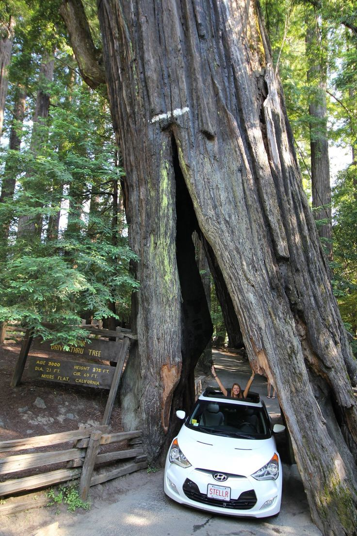 A giant redwood tree so big, the road goes through it ...