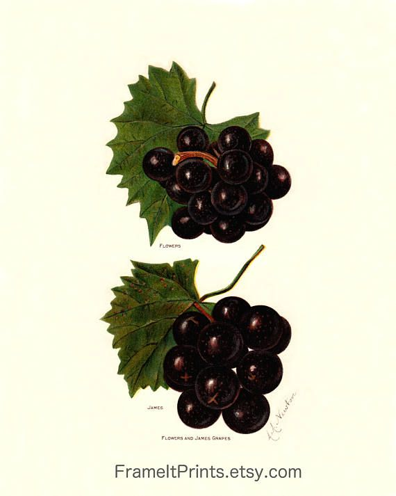 Antique panariti grapes art print 1913 reproduction print ready to mat and frame beautiful art print thoughtfully reproduced from an antique 1913