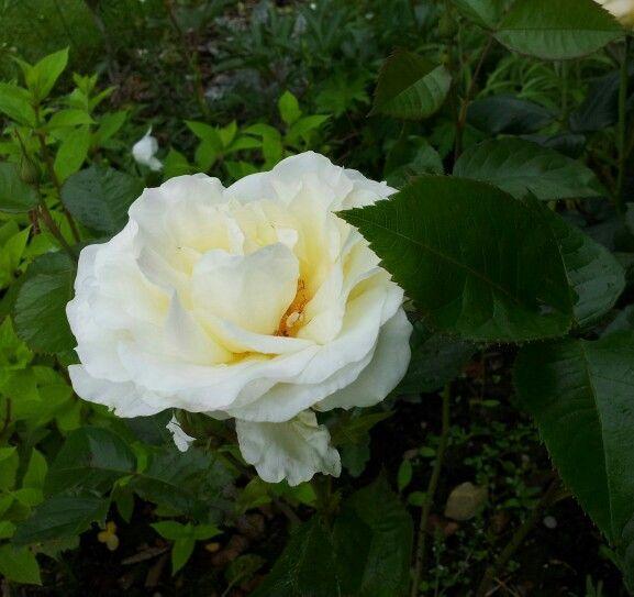 Min hvide have