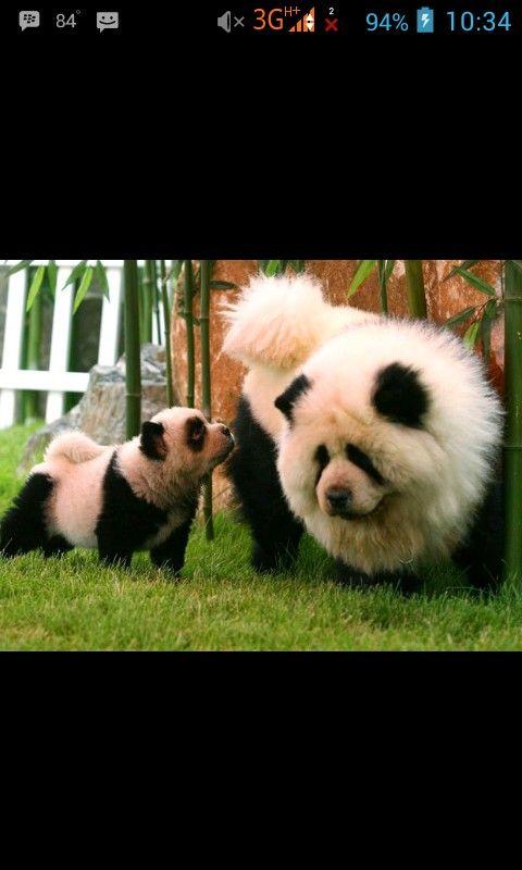 Dog or panda???