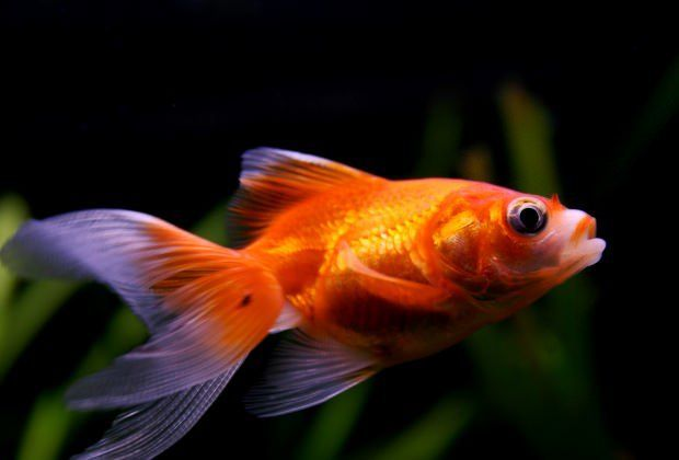 7 Common Goldfish Diseases: Are Your Goldfish Sick?