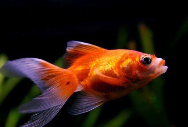 7+Common+Goldfish+Diseases:+Are+Your+Goldfish+Sick?