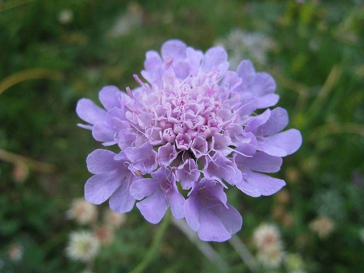 https://flic.kr/p/7vq7c2 | ES_03 Spanish Pyrenees | Pyrenees flora - cephalaria?