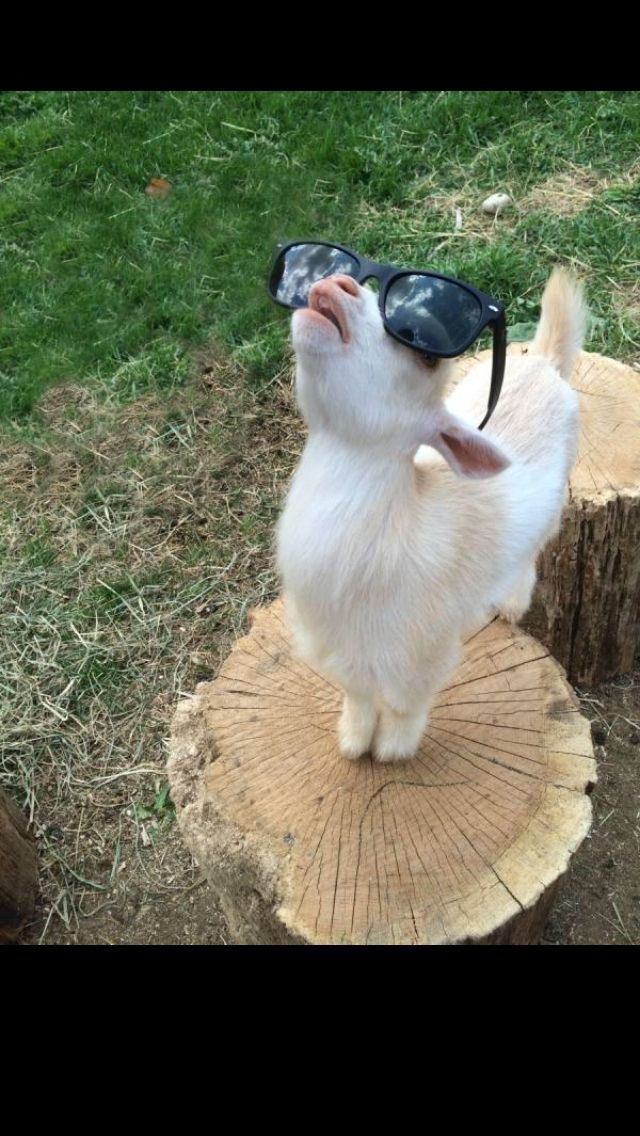 1000 Images About Animals With Sunglasses On Pinterest