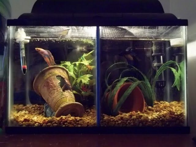 50 best images about proper betta homes on pinterest for Divided fish tank