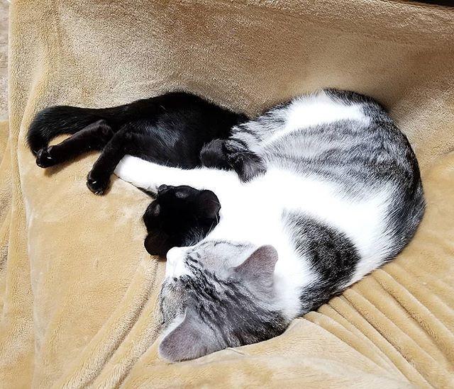 . . リオ兄ちゃんが妹分のミルクを抱っこして寝かしつけてる💕 . . #猫#子猫#cat#cutecat#愛猫#可愛い#癒し猫#インスタキャット#ねこ部#兄弟猫#仲良し兄弟猫#多頭飼い#さばしろ#きじしろ#きじとら#黒猫#ブラックスモーク#ソマリミックス#ねこバカ#猫の気持ち#にゃんだふるらいふ#ねこらぶ#ねこら部#ねこすた#ニャンすた#保護猫