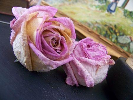Roses après la pluie
