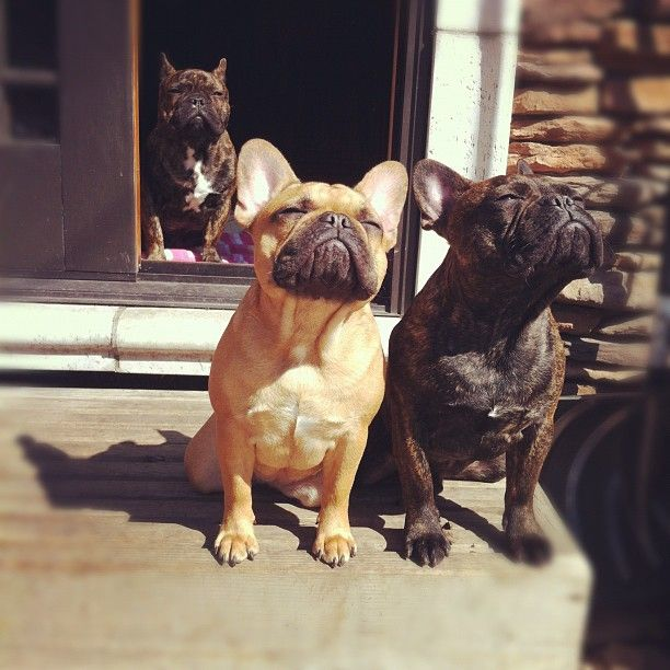The gang is all here.: Animals, French Bulldogs, Frenchbulldogs, Pets, Funny, Friend, Sun