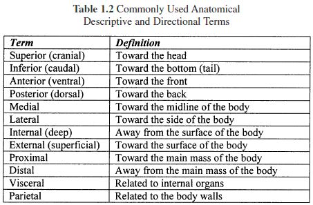 Anatomical Terminology Worksheet - Karibunicollies