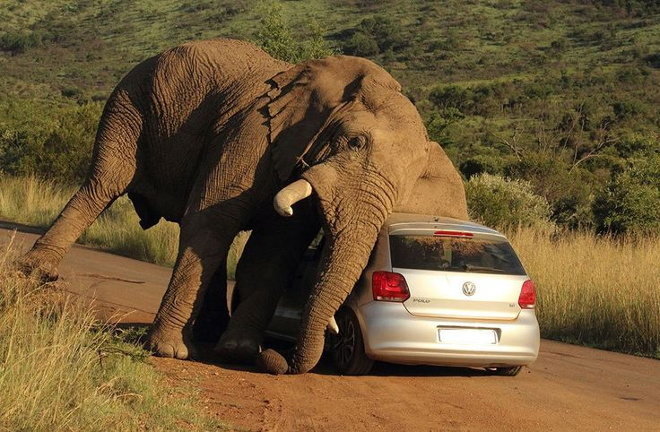 An elephant relives an itch on a small car in the Pilanesberg National Park, South Africa