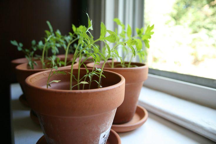 Cultiver le plant de tomate. Les détails qui font la différence.