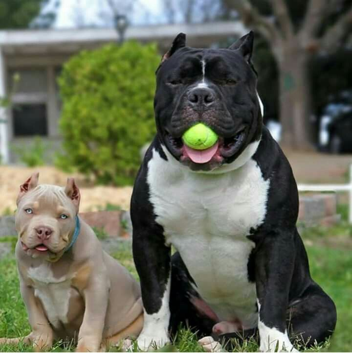 Beautiful American Bullies ♡  http://dressmypup.storenvy.com/products/15261642-the-dudley